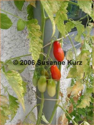 dürfen tomaten regen abbekommen
